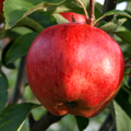 Cornish Aromatic Apple