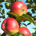 Hetlina Apple